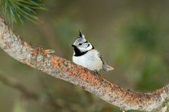 Cincia ciuffo bird Royalty Free Stock Photography