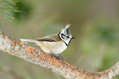 Cincia ciuffo bird Royalty Free Stock Photo