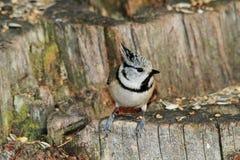 Cincia ciuffo bird Royalty Free Stock Image