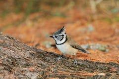 Cincia ciuffo bird Stock Images