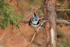 Cincia ciuffo bird Stock Photo