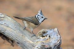 Cincia ciuffo bird Royalty Free Stock Photos