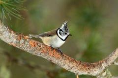 Cincia ciuffo bird Stock Image