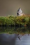 Cincia dal ciuffo da uno stagno di inverno fotografie stock libere da diritti