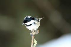 Cincia mora bird Royalty Free Stock Photo