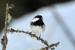 Cincia mora bird Royalty Free Stock Images