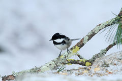 Cincia mora bird Stock Photo