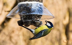 Cinciallegra che prende un seme di girasole dall'alimentatore dell'uccello immagine stock