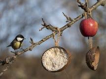 Cinciallegra che si siede su un ramo in un giardino svedese Fotografia Stock