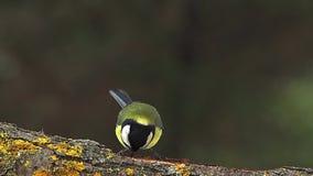 Cinciallegra, maggiore del parus, ali adulte di sbattimento e decollare dal ramo, Normandia, video d archivio