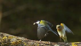 Cinciallegra, maggiore del parus, maschio nella presa con dell'alimento in suo becco, atterraggio di Brambling, montifringilla de video d archivio