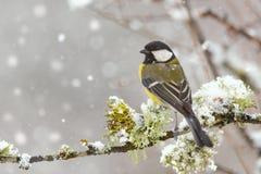 Cinciallegra, Parus principale, sedentesi su un ramo con muschio durante le precipitazioni nevose immagini stock libere da diritti
