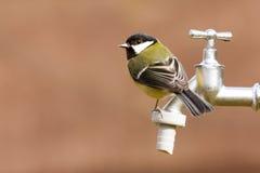 Cinciallegra su un rubinetto di acqua Fotografie Stock Libere da Diritti