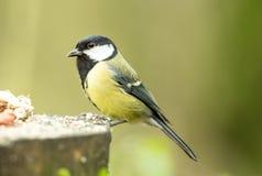 Cinciallegra sulla tavola d'alimentazione dell'uccello, affrontante a sinistra fotografia stock libera da diritti
