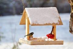 Cinciarella che mangia dall'alimentatore dell'uccello del giardino Fotografia Stock Libera da Diritti