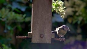 Cinciarella che mangia i semi, cuori del girasole, da un alimentatore dell'uccello in un giardino britannico durante l'estate archivi video