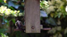 Cinciarella che mangia i semi, cuori del girasole, da un alimentatore dell'uccello in un giardino britannico durante l'estate video d archivio