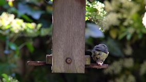 Cinciarella che mangia i semi, cuori del girasole, da un alimentatore di legno dell'uccello in un giardino britannico durante l'e archivi video