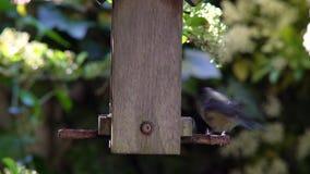 Cinciarella che mangia i semi, cuori del girasole, da un alimentatore di legno dell'uccello in un giardino britannico durante l'e stock footage
