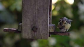 Cinciarella che mangia i semi, cuori del girasole, da un alimentatore di legno dell'uccello in un giardino britannico durante l'e video d archivio