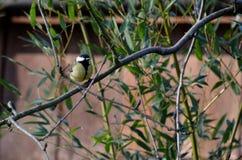 Cinciarella che si siede su un ramo e che cerca alimento Fotografie Stock