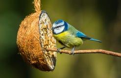 Cinciarella con l'alimentatore della noce di cocco Appollaiato su un ramo Fine in su fotografia stock