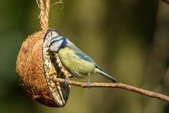 Cinciarella con l'alimentatore della noce di cocco Appollaiato su un ramo Fine in su fotografia stock libera da diritti