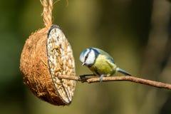 Cinciarella con l'alimentatore della noce di cocco Appollaiato su un ramo Fine in su immagine stock libera da diritti