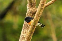Cinciarella maschio, sottospecie dell'isola del sud, uccello indigeno della Nuova Zelanda che si siede nell'albero sulla collina  fotografia stock