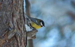 Cinciarella su un albero nella foresta di inverno Fotografie Stock Libere da Diritti