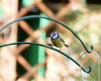Cinciarella sulla struttura dell'alimentatore dell'uccello fotografia stock