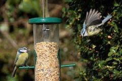 Cinciarelle sull'alimentatore dell'uccello in volo fotografie stock libere da diritti