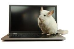 Cincillà bianco che si siede su un computer portatile Fotografia Stock Libera da Diritti