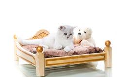 Cincillà scozzese della bella giovane razza del gatto diritto fotografia stock