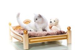 Cincillà scozzese della bella giovane razza del gatto diritto fotografie stock libere da diritti