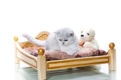 Cincillà scozzese della bella giovane razza del gatto diritto immagini stock libere da diritti