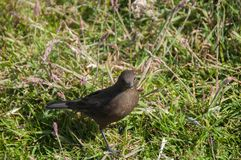 Cinclodes noirâtre sur Falkland Islands photographie stock libre de droits
