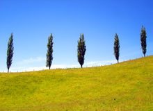 Cinco árboles de pino en una colina herbosa ascendente Ridge Foto de archivo
