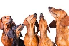 Cinco açaimes de cães do Dachshund no branco isolado Fotos de Stock Royalty Free