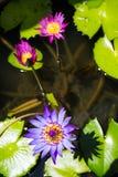 Cinco abejas con la flor de loto púrpura en la piscina Fotografía de archivo