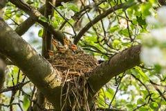 Cinco aldeões com fome do  de Ñ em um ninho em um ramo de árvore na mola fotos de stock royalty free