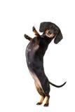 Cinco altos cão de empurrão Imagem de Stock Royalty Free