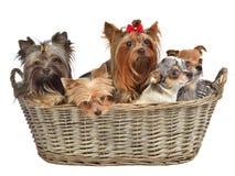 Cinco cães bonitos em uma cesta Foto de Stock Royalty Free