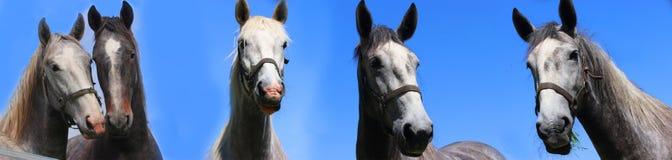 Cinco caballos que miran derecho en el ojo en el cartel Imagenes de archivo