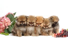 Cinco cachorrinhos de pomeranian no fundo branco, isolados Imagem de Stock