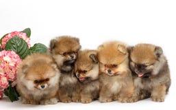 Cinco cachorrinhos de pomeranian no fundo branco, isolados Foto de Stock