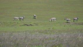 Cinco cebras que comen la hierba en un día de primavera soleado almacen de video