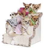 Cinco chihuahuas que sentam-se em etapas Fotos de Stock