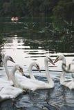 Cinco cisnes Foto de archivo libre de regalías