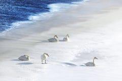 Cinco cisnes na neve na borda da água Imagem de Stock Royalty Free